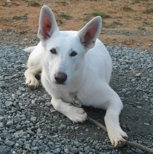White Husky Australian Shepherd Mix Australian shepherd mix White Husky Australian Shepherd Mix